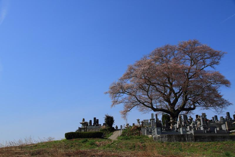 2011.04.21_七草木の桜_03