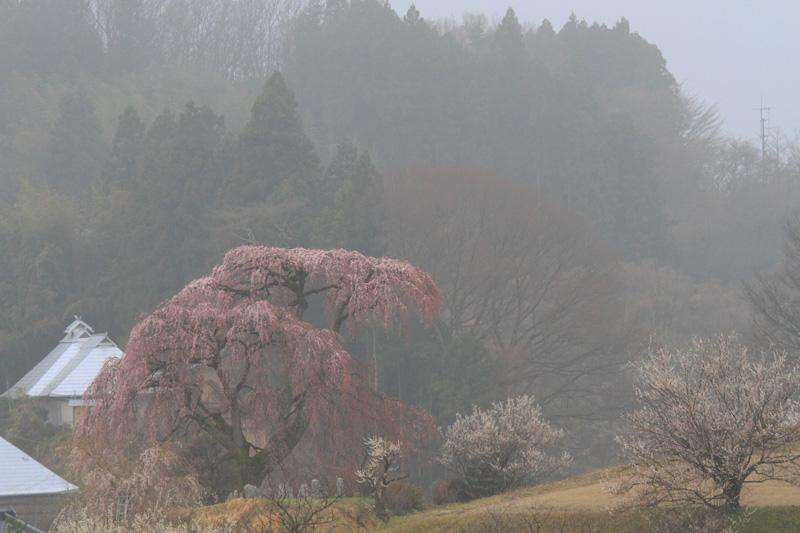 2011.04.22_戸ノ内桜