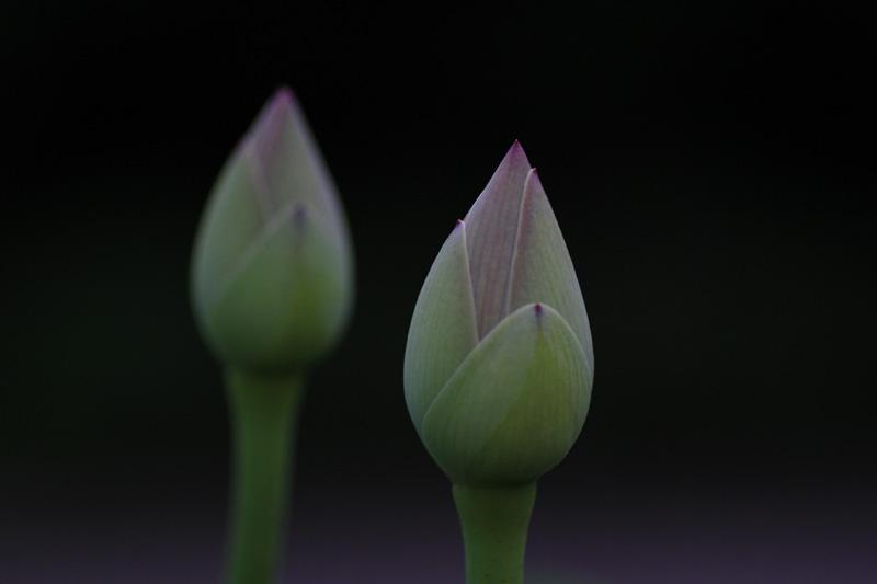 20110703法蔵寺の蓮