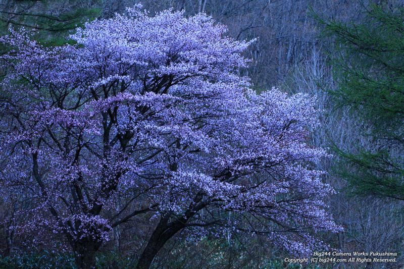 20130515_裏磐梯の桜