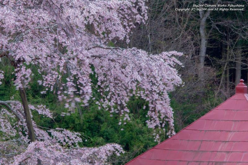 20130420_不動桜