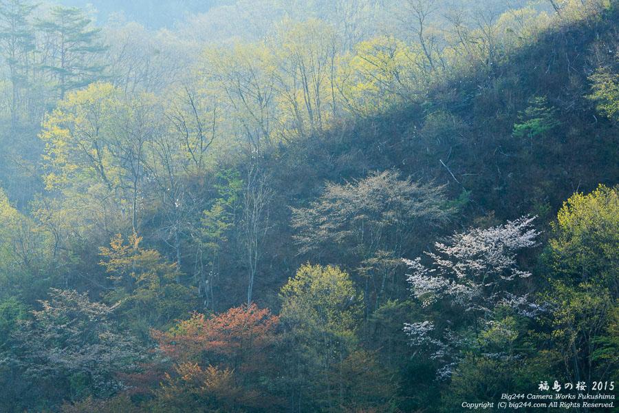20150502戸赤の山桜