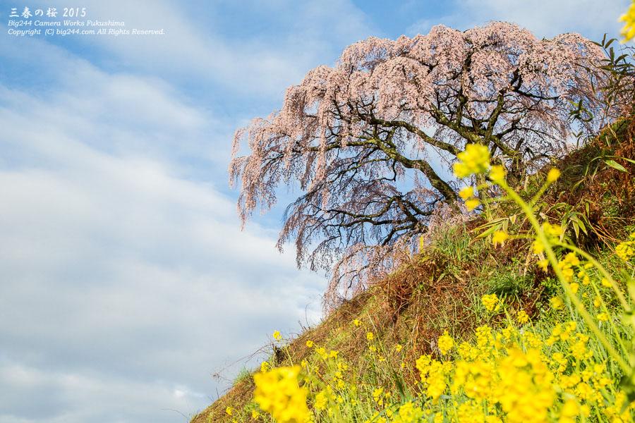 20150415_芹ケ沢の桜02-三春町