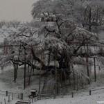 2015-11-25_初雪滝桜