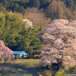 2016-04-12_三春町-七草木天神桜