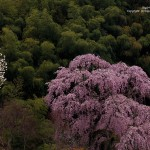 2016-04-11_常楽院の桜02