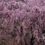 2016-04-22_猪苗代町-八幡神社の桜01