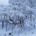 2017-01-13_雪の滝桜-滝桜ブログ01