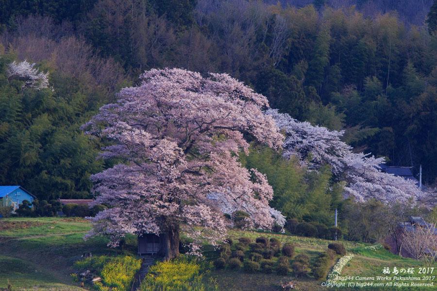 七草木天神桜-三春の桜