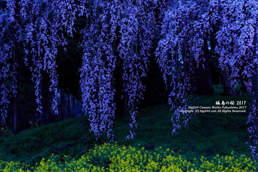 2017年04月22日合戦場の枝垂れ桜