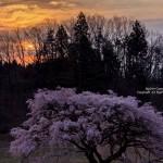 2017-04-17_芳水の桜-福島市02