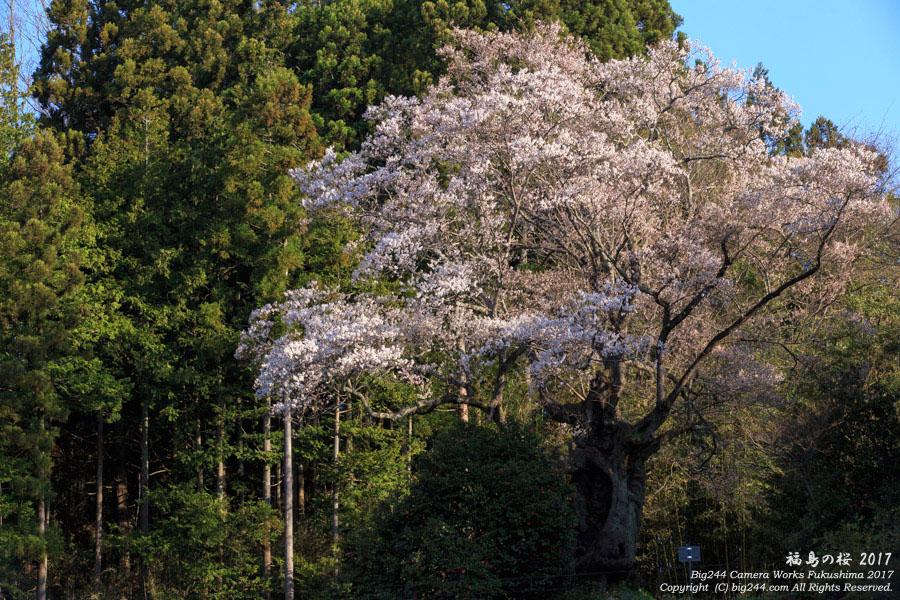 2017-04-16_千年桜