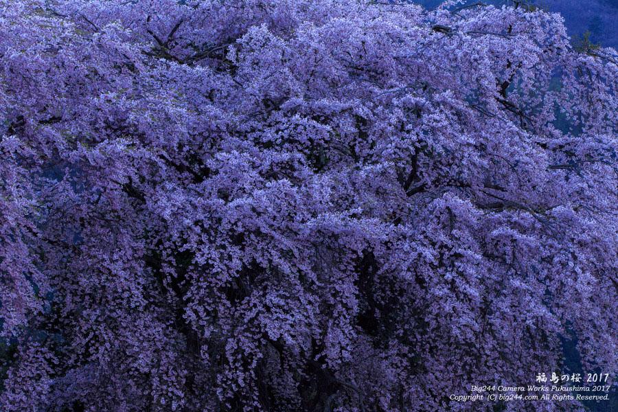 2017-05-05_白津の桜-猪苗代町02