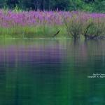 2017-08-20_裏磐梯風景写真-秋元湖キャンプ場-ミソハギ-06