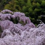 2018-04-07_三春町-常楽院の桜-01