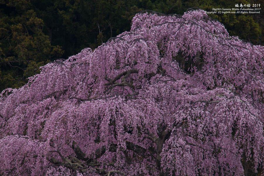 2019-04-19_三春の桜-三春町03