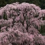 2020-04-16_福田寺の枝垂れ桜-02
