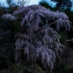 2020-04-15_光岩寺から亀井の枝垂れ桜-02