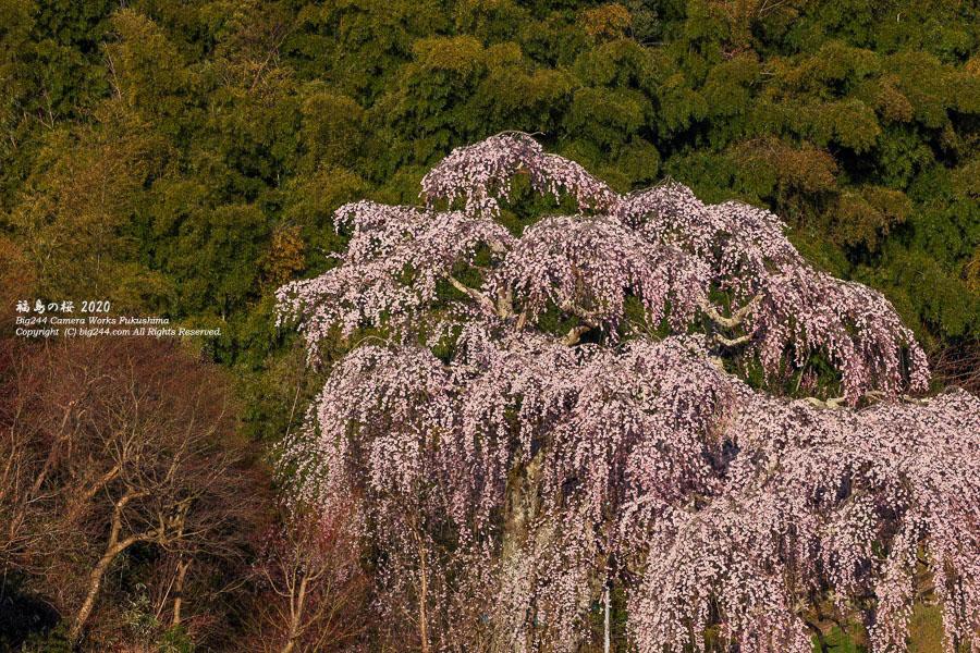 2020-04-11_常楽院の枝垂れ桜